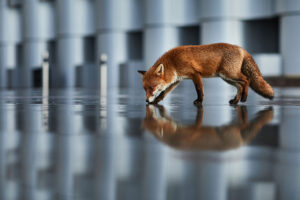 Urban fox in reflections
