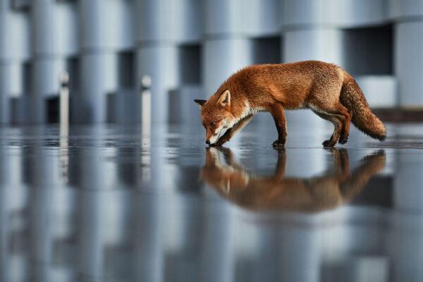 Urban fox in reflections