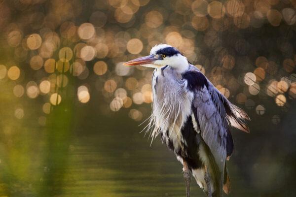 Wildlife photo prints - Disco heron