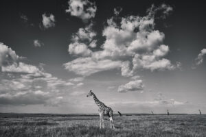 Wildlife prints - Giraffe landscape