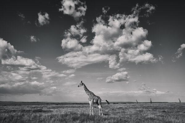 Wildlife prints - Giraffe landscape