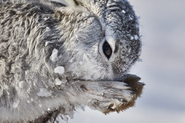 Wildlife prints - Grooming mountain hare