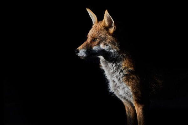 Wildlife prints - Out of the shadows