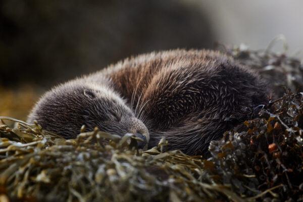 Wildlife prints - Sleeping beauty