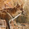Wildlife prints - golden fox close up